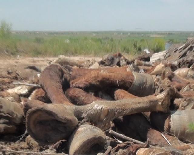 Жеке кәсіпкер өз аймағында тек азық-түлік қалдықтары тасталғанын айтып ақталады. Бірақ мұнымен жергілікті тұрғындар келіспейді