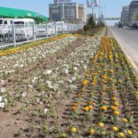 «Алтын Орда» бизнес орталығының жан жағын абаттандыру үшін 6300 гүл көшеті отырғызылды оған 1 күн жұмсалды 12 адам жұмылдырылды