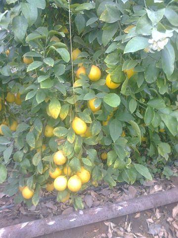 Қазығұртта лимон өсіріле бастады