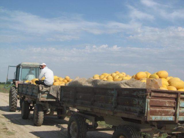 ОҚО диқандары 600 мың тонна өнім жинады