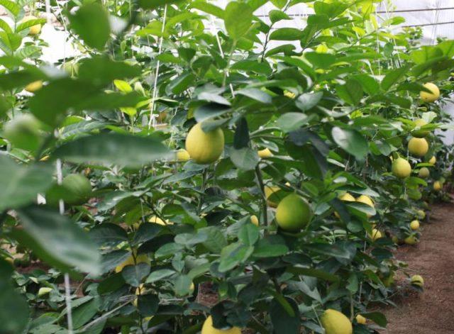Түркістандықтар лимон өсіре бастады