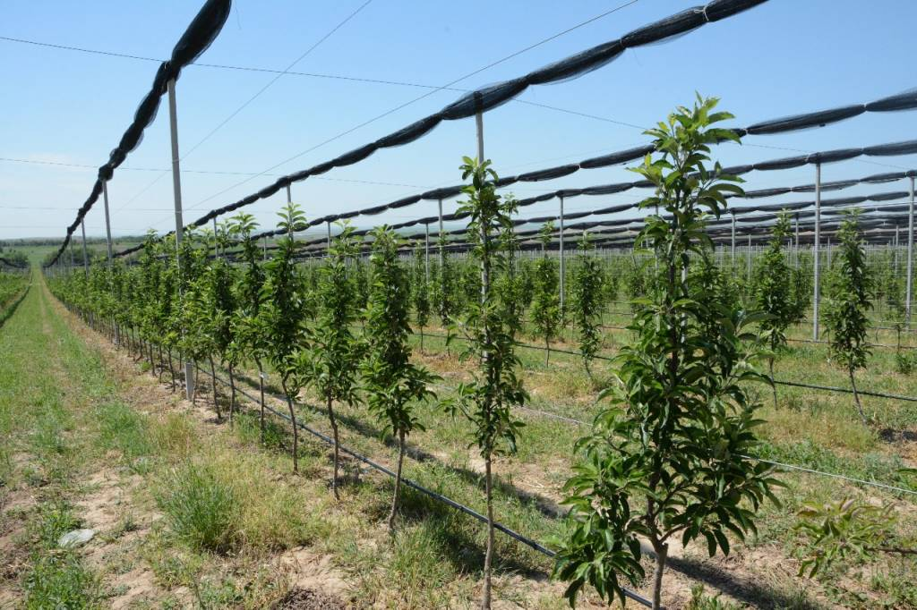 Қазығұртта 70 гектар жерге қарқынды бау егілді