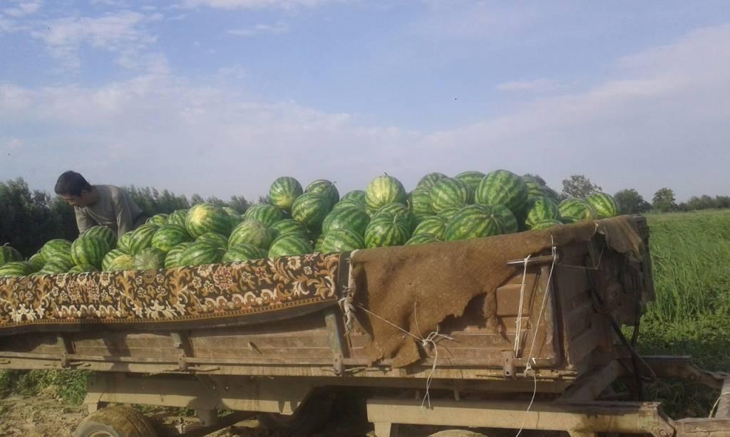 Оңтүстіктің шаруалары Ресейге 300 тонна қарбыз экспорттады