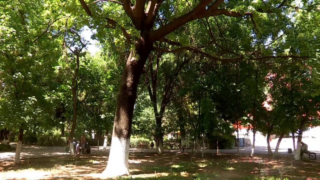 Кең баба саябағындағы ағаштар енді мамандардың келісімімен ғана бұталады