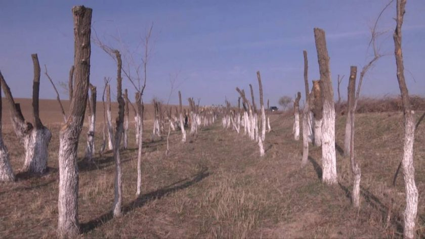 Біркөлікке барар жолдағы ағаштар бұталуда